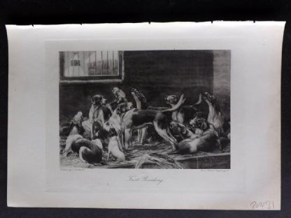 Aflalo 1898 Antique Print. First Beaking. Foxhounds Foxhunting
